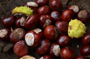 Shiny chestnut fruits