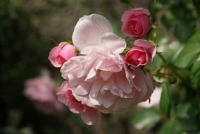 pink rose blossoms