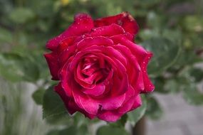 expanded red rose flower in a garden