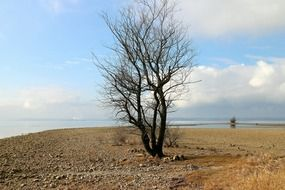 Lonely leafless tree on the beach