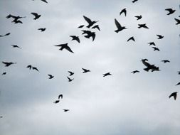 flock of migratory birds against the background of the autumn sky