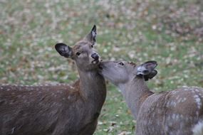 picture of the roe deers in the wildlife