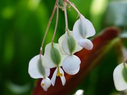 white begonia in bloom