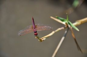 dragonfly red