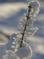 Snow-covered branch close-up