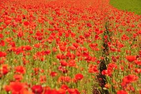 field of blooming red poppies