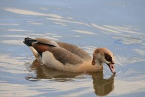 egyptian goose in a water