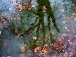 reflection of a tree in a pond with yellow leaves