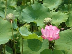 very beautiful lotus pond flowers