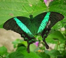 emerald dovetail is a butterfly species