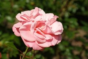 rose blossom bloom pink flower close