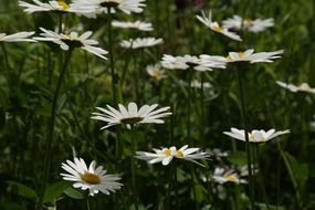 daisies field in summertime