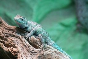 green blue iguana reptile on wood