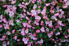 pink ice begonia flowers