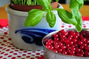 red currant berries in the pot