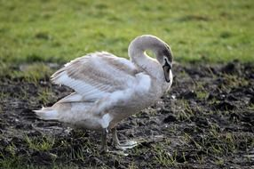 Grey and white swan in wildlife
