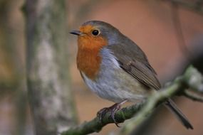 Close-up portrait of robin bird sitting on a branch