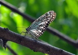 blue tiger butterfly in the wildlife