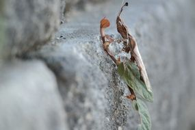 ghost mantis on a wall