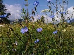 blue flowers in an alpine meadow