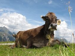 cow in a pasture in austria