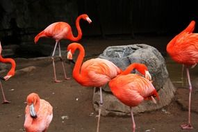 flamingos stand near the stone