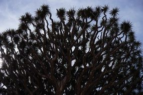 canary island dragon tree crown form