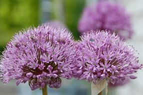 purple bright garlic flowers