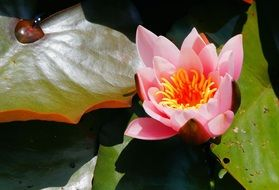 tender pink water lily