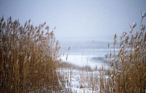 dry grass on a snowy shore