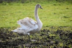 young swan on green grass