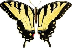 yellow swallowtail butterfly insect nature