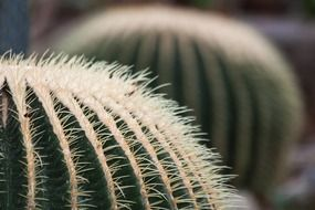 golden ball cactus mexico