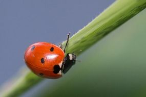 red ladybug on a blade of grass