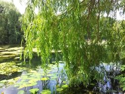 green willow trees by the lake