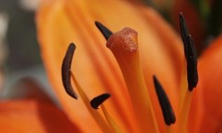 orange lily pollen close up