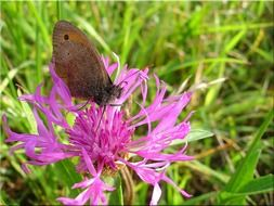 brown butterfly on a wildflower