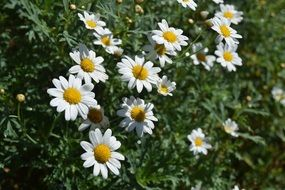 white daisy flowers plant