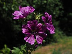 flower of the wild mallow