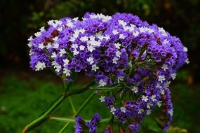 winged beach lilac flower