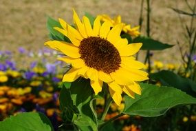 yellow sun flower plant summer