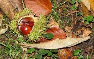 Brown chestnut in green shell on the ground