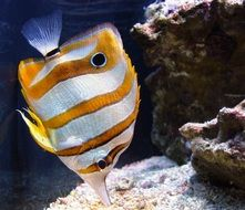 copperband butterflyfish is a saltwater fish