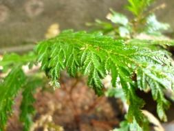 young fern leaves in spring