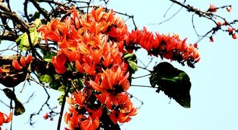 Bombax ceiba is commonly known as cotton tree