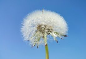 fluffy dandelion against a clear blue sky