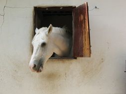 white horse in a barn on a farm