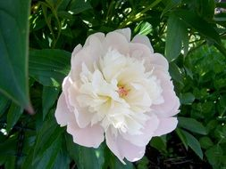 white peony on a green bush