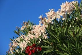 oleander like a flowering bush