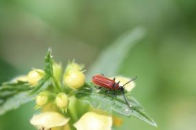 red beetle on green dead nettle